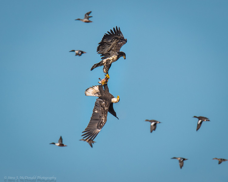 Immature Bald Eagles fighting over a duck