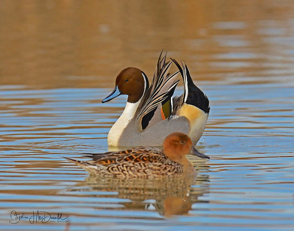 Pintail courtship display Action