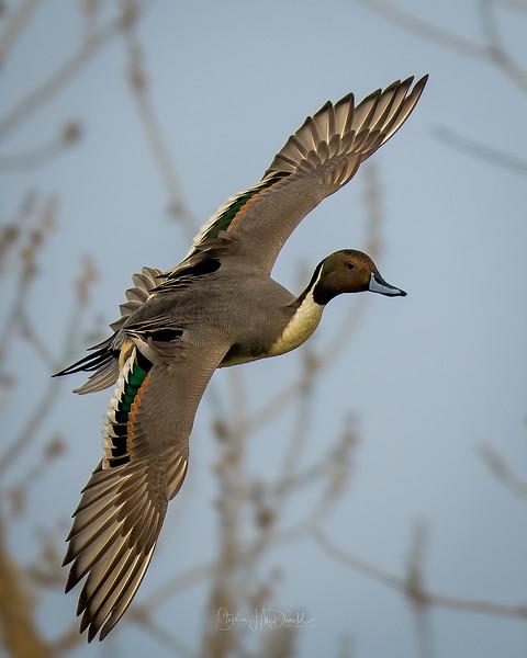 Drake Pintail Duck