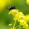 Grön parasitfluga på gul blomma