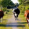 Svensk Jersey-boskap på Torhamnsudde