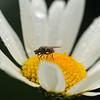 Fluga på blomma