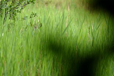Rådjur i gräs