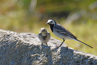 Nyfödd sädesärla och förälder.
