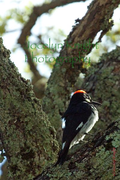 Acorn Woodpecker sits in morning sunshine in the oaks in Glen Ellen, Calif. on Wednesday, March 21, 2012.