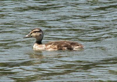 mallard duckling on Russian River