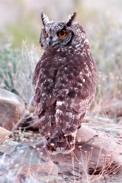 Cape Eagle Owl (Bubo capensis)