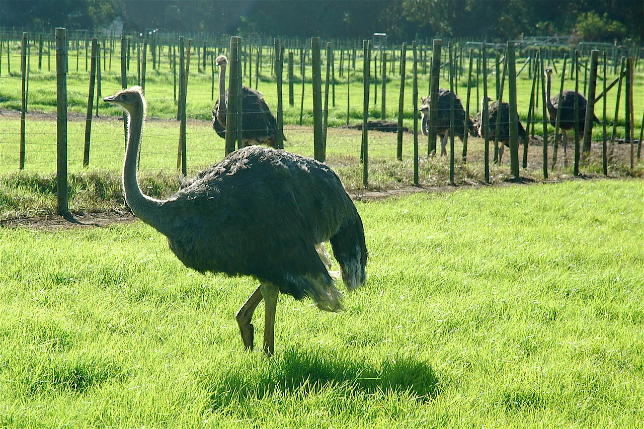 Ostrich farm close to Cape Point