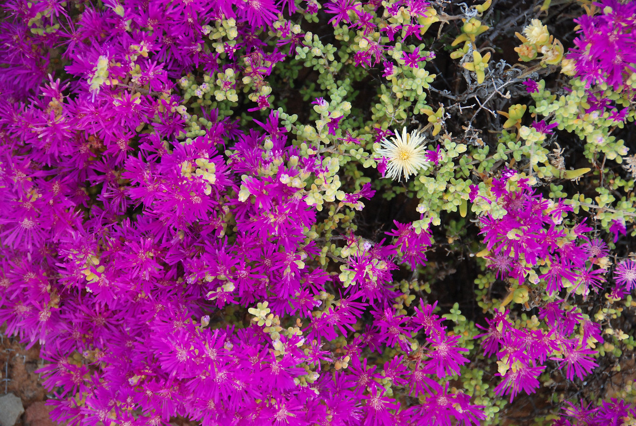 Ruschia flowers