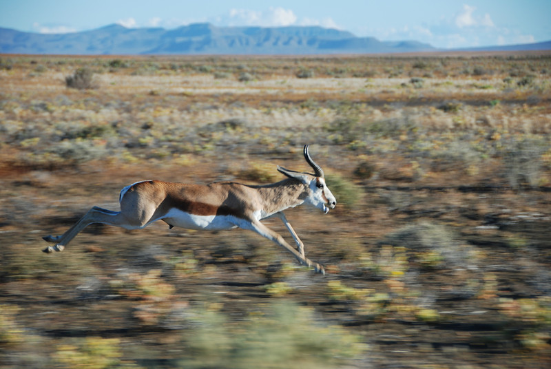 A springbok, trying to compete with an SUV