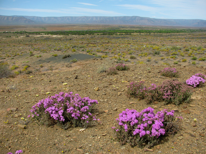 "These pink to purple flowers were extremely abundant in the Karoo this year. Probably a species of the Ruschia genus - see details <a href=""http://www.plantzafrica.com/plantqrs/ruschia.htm"">here</a>."
