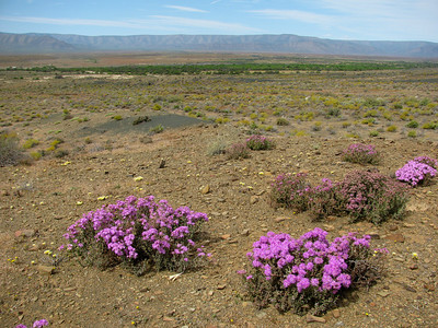 These pink to purple flowers were extremely abundant in the Karoo this year. Probably a species of the Ruschia genus - see details here.