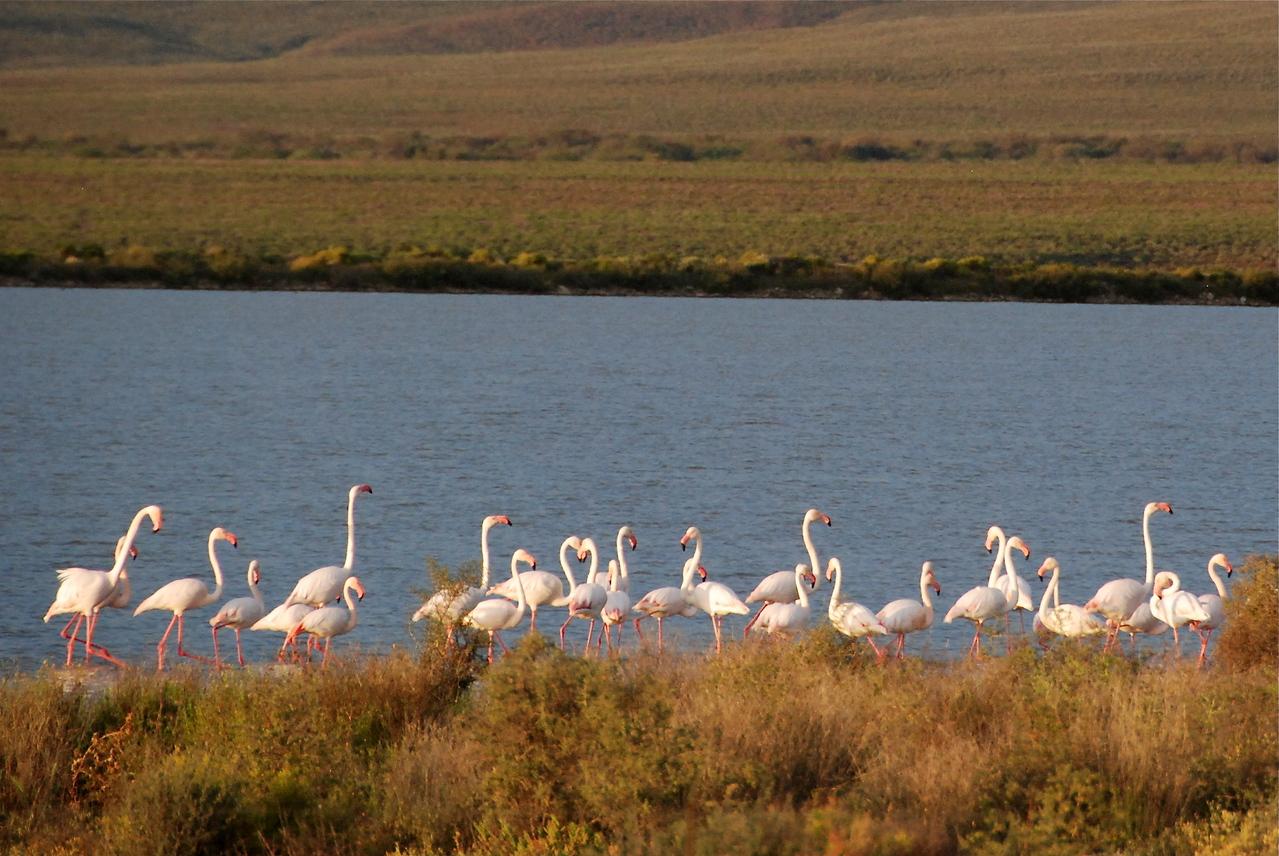 Flamingoes