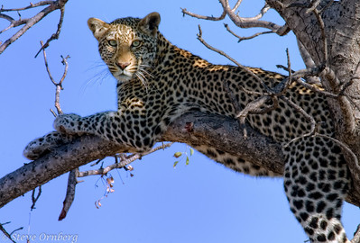 Satiated Lepopard, Madikwe Game Reserve, South Africa