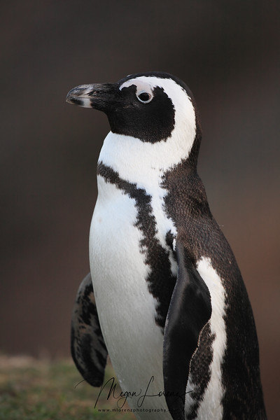 Black-Footed Penguin in Boulder's Beach in South Africa