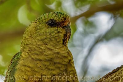 Austral Parakeet Portrait