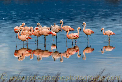 Chilean Flamingos Reflection
