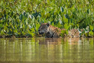 Jaguar in the Hyacinths
