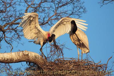 A pair of Jabiru Storks at the nest.