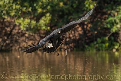 A Great Black Hawk grabs a small fish.