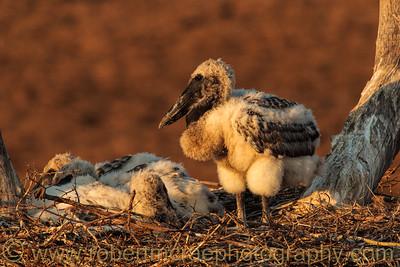 Jabiru chicks in the nest.