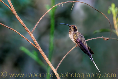 Scale-throated Hermit