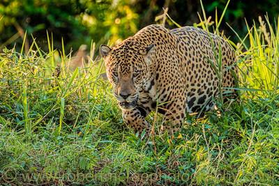 A Jaguar Approaches