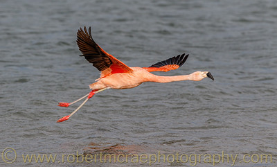 Chilean Flamingo in Flight