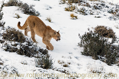 A Ten Month Puma Cub in the Snow
