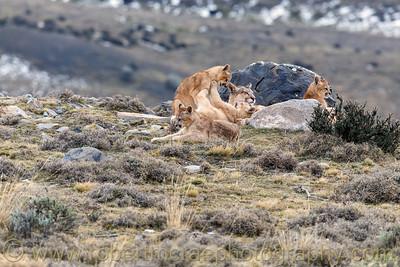 A Puma Family