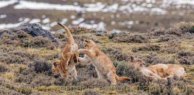 Two Puma Cubs Play Near Mom