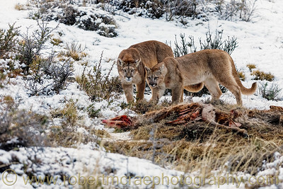 A Mother Puma and Her Cub Inspect A Kill