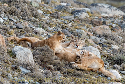 A Cute Puma Cub Napping