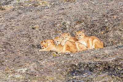 Four Four Month Old Puma Cubs Waiting for Mom