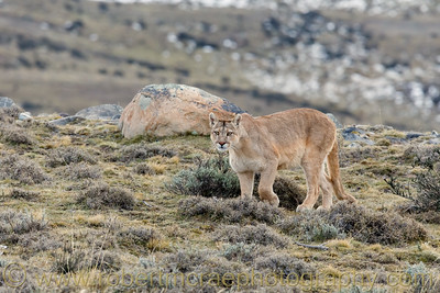 Puma Female Approaches