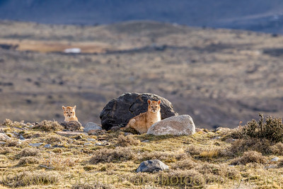 Curious Puma Cubs