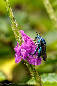 A Colorful Bee-like Insect