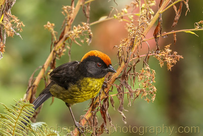 Black-faced Brush-Finch