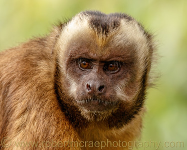 Brown-faced Capuchin Portrait