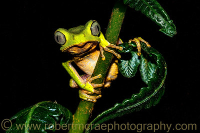 Double striped monkey frog