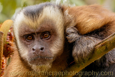 Brown-faced Capuchin