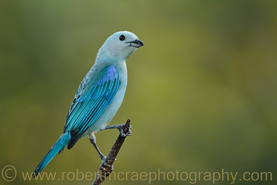 """Blue-gray Tanager"""