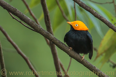 Golden Headed Manakin