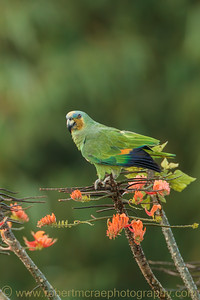 Orange-winged Parrot