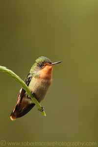Tufted Coquette Female