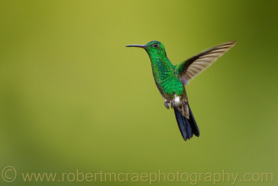 """Copper-rumped Hummingbird"""