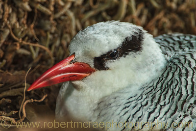 Red-Billed Tropicbird on a Nest