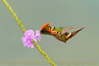 """Tufted Coquette at a Flower"""