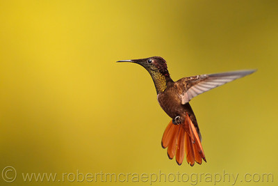 Ruby Topaz Hummingbird
