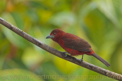 """Silver-beaked Tanager"""